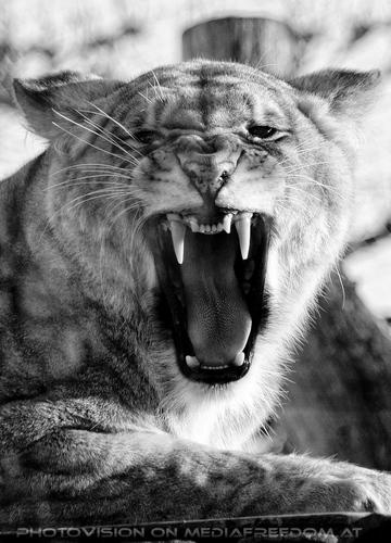 Löwen Portrait 6