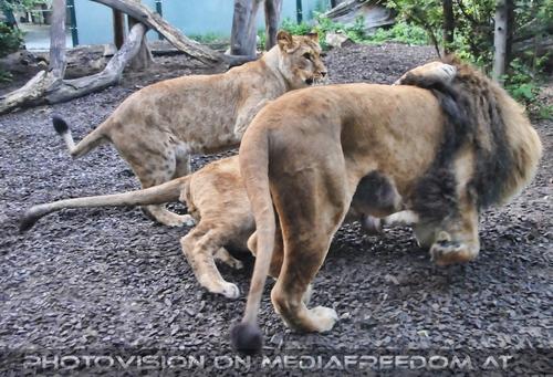 Balgerei: Löwen