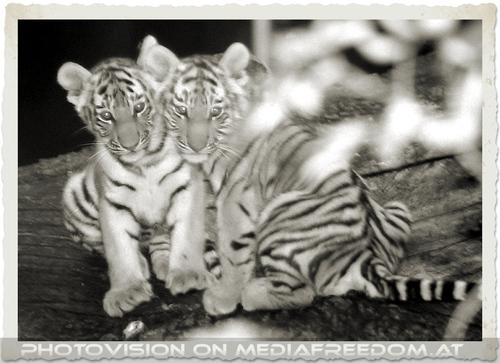Tigerbaby Geschwister