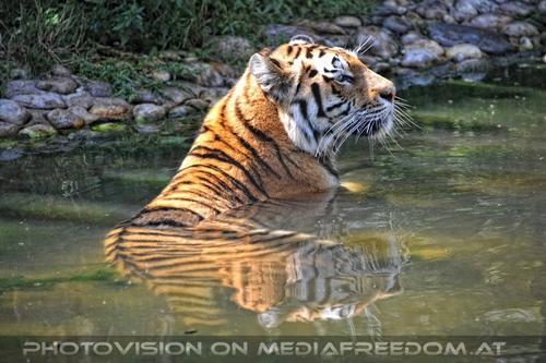 Abkühlung: Sibirischer Tiger