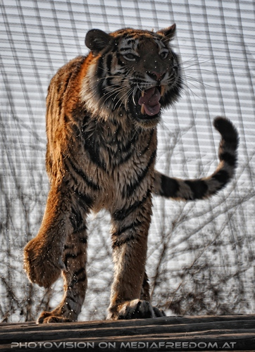 Abtrocknen: Sibirischer Tiger