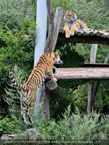 Allez hop: Sibirischer Tiger