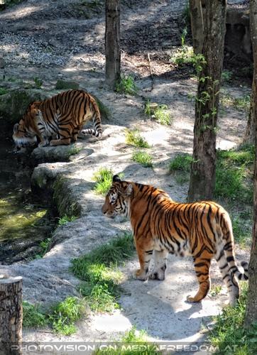 Am Teich: Sibirischer Tiger
