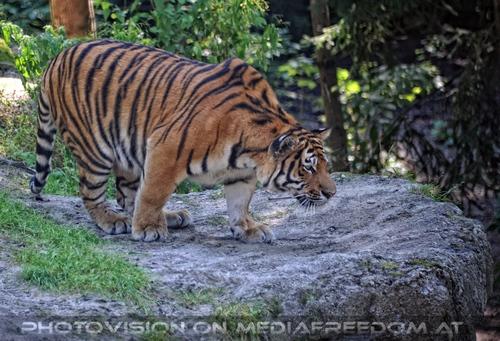 Anschleichen: Sibirischer Tiger