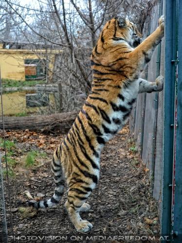 Aufgebäumt: Sibirischer Tiger