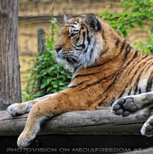 Aufmerksam: Sibirischer Tiger