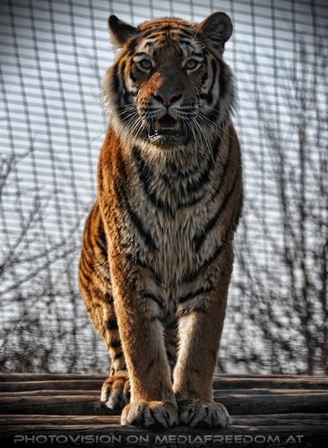 Ausblick: Sibirischer Tiger