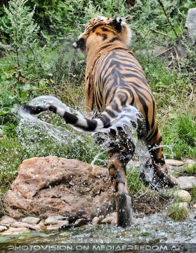 Ausgebadet: Sibirischer Tiger