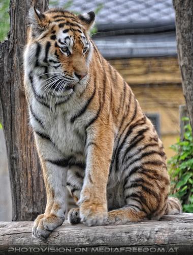 Ausguck: Sibirischer Tiger