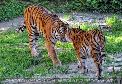 Begegnung: Sibirischer Tiger