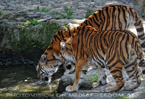 Brüder: Sibirischer Tiger