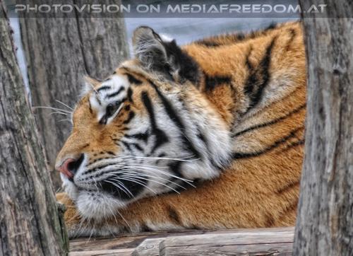 Denken: Sibirischer Tiger