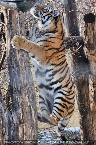 Der Sprung: Sibirischer Tiger