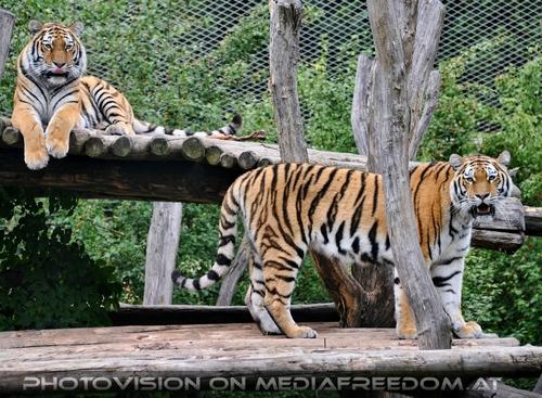 Die zwei: Sibirischer Tiger