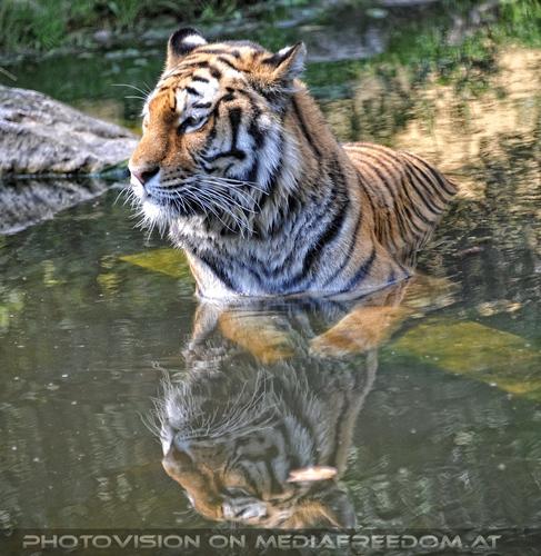 Double vision: Sibirischer Tiger