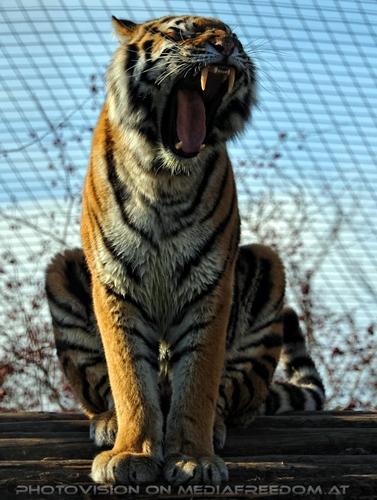 Gääähn: Sibirischer Tiger