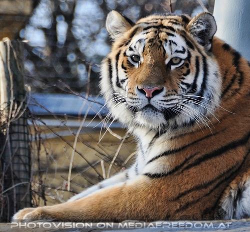 Hallo Schönheit: Sibirischer Tiger