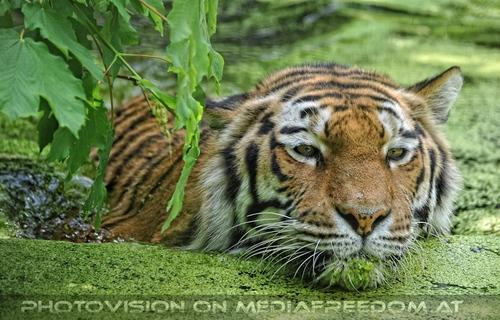 Im Dschungelteich: Sibirischer Tiger