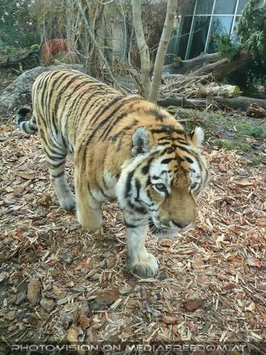 Im Gang: Sibirischer Tiger