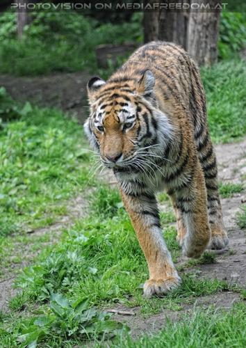 Im Lauf: Sibirischer Tiger