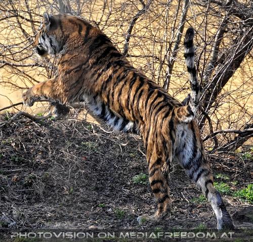 Jump: Sibirischer Tiger