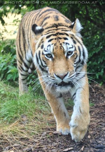 Komm näher: Sibirischer Tiger