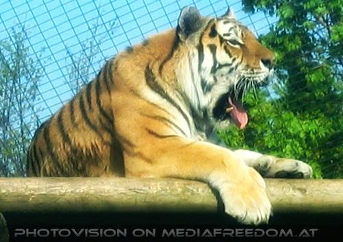 Lazy Tiger: Sibirischer Tiger