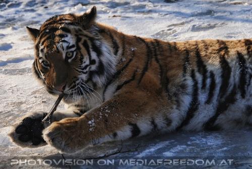 Mein Staberl: Sibirischer Tiger