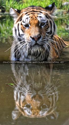 Mirror mirror: Sibirischer Tiger
