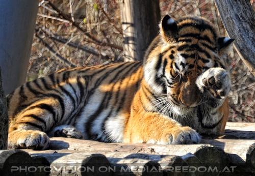 Müüde: Sibirischer Tiger