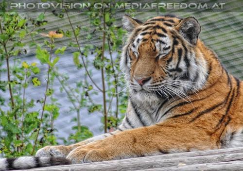 Nickerchen: Sibirischer Tiger