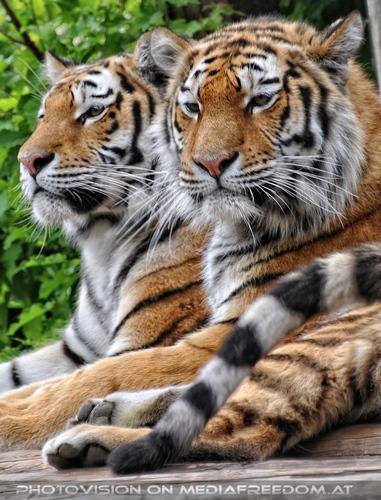 Paarweise: Sibirischer Tiger
