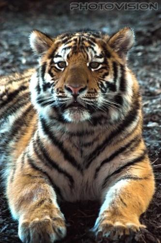 Proud boy: Sibirischer Tiger