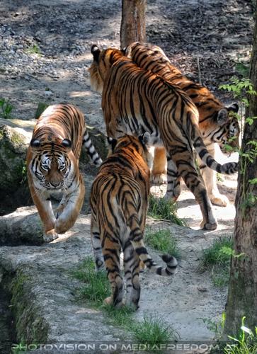 Quatro Tiger: Sibirischer Tiger