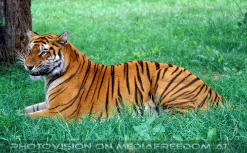 Safari 08: Sibirischer Tiger
