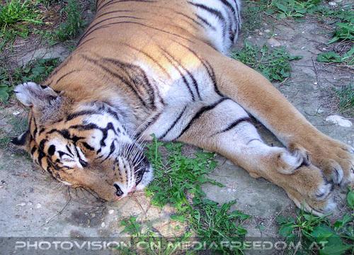 Safari 19: Sibirischer Tiger
