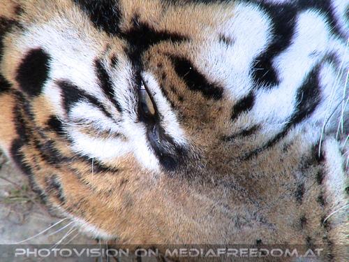 Safari 20: Sibirischer Tiger