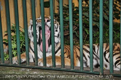 Müde am Abend: Sibirischer Tiger