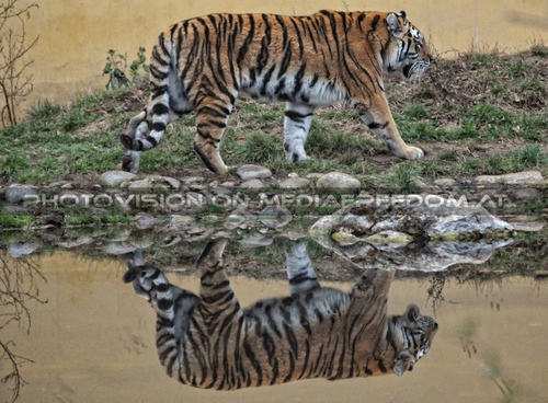 Spiegelbild: Sibirischer Tiger