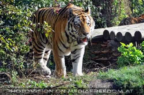 Streifzug: Sibirischer Tiger