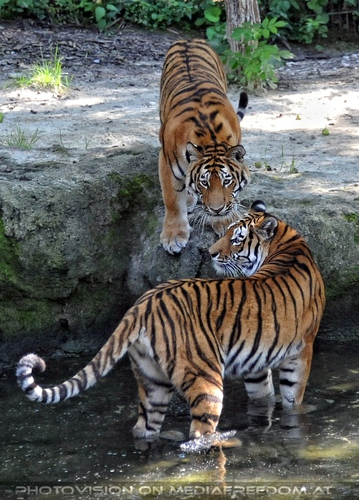 Tiger Duo: Sibirischer Tiger