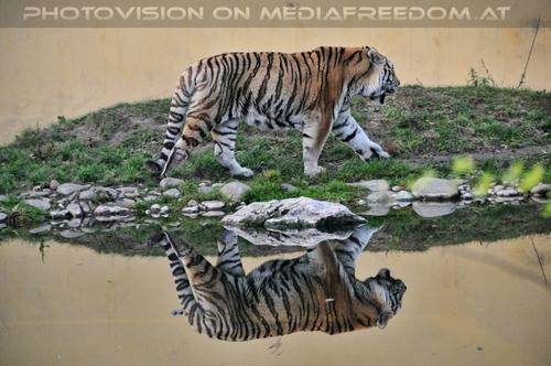 Tiger mirror: Sibirischer Tiger