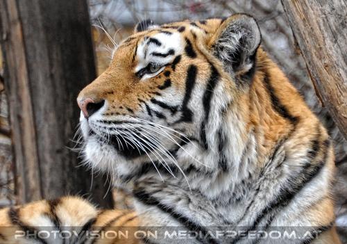 Wachsam: Sibirischer Tiger
