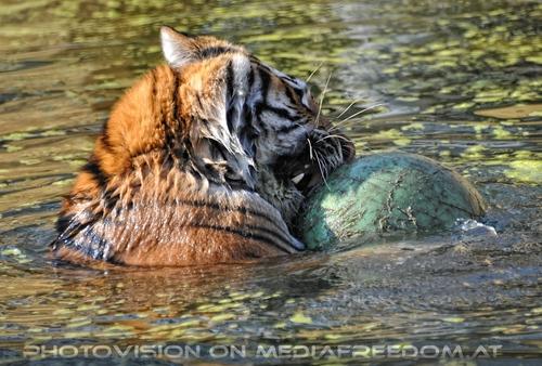 Wasserball: Sibirischer Tiger
