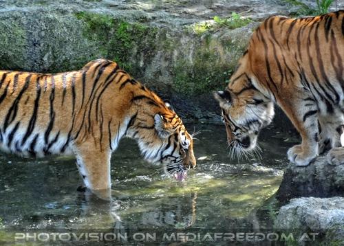 Wasserspiegel: Sibirischer Tiger