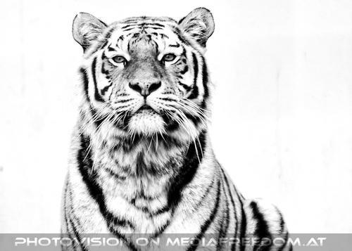 Sibirischer Tiger Winter 01