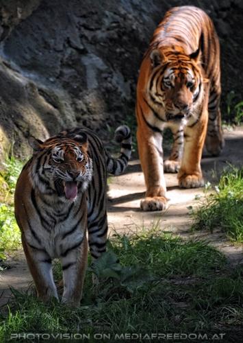 Wittern: Sibirischer Tiger