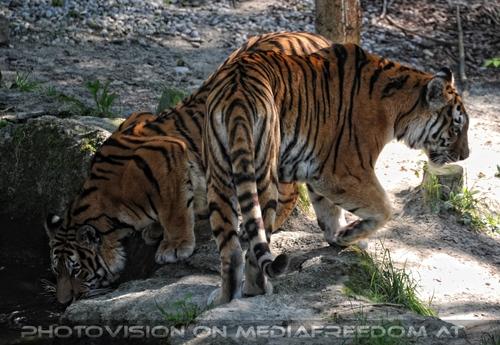 Zwei Tiger: Sibirischer Tiger
