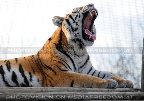 Tigermaul