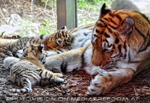Tiger Babys 04